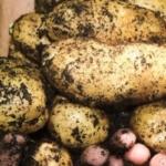 Como cultivar patatas