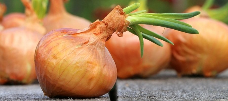 Como sembrar cebollas