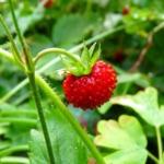 sistemas-de-riego-para-el-cultivo-de-fresas